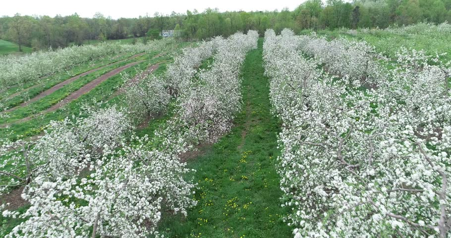 Aerial cameraing slowly down a row of apple trees with snowball blossoms. | Shutterstock HD Video #1010811455