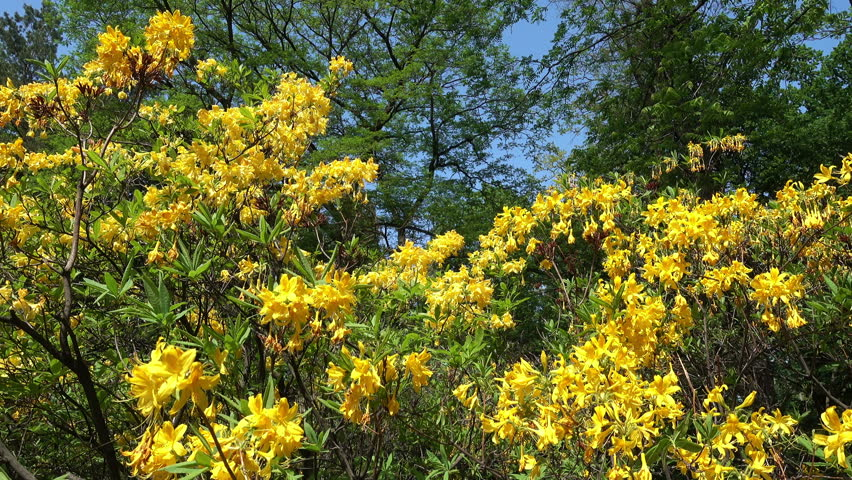 Rhododendron yellow spring in the park against the background of tall green trees and blue sky. Rhododendron Luteum Sweet