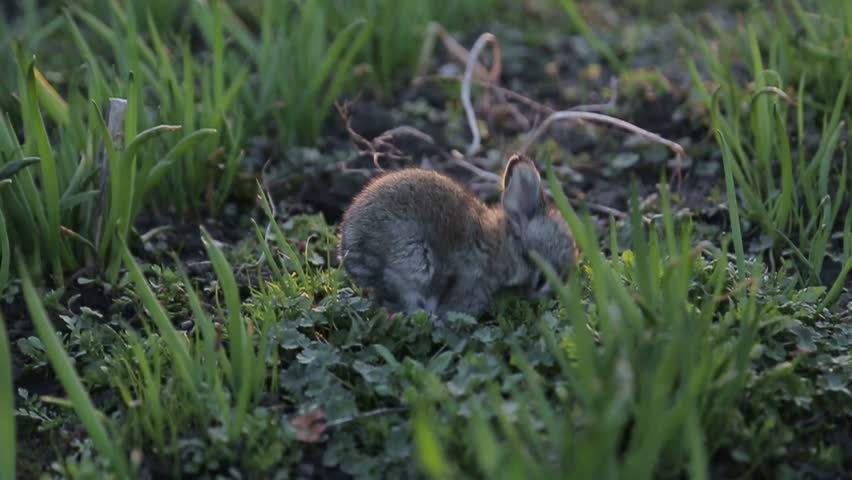 little rabbit is washed, rabbit in green grass, slow motion