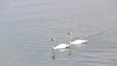 Two pairs of beautiful white swans on the waters of the Danube river in Belgrade. Close up.