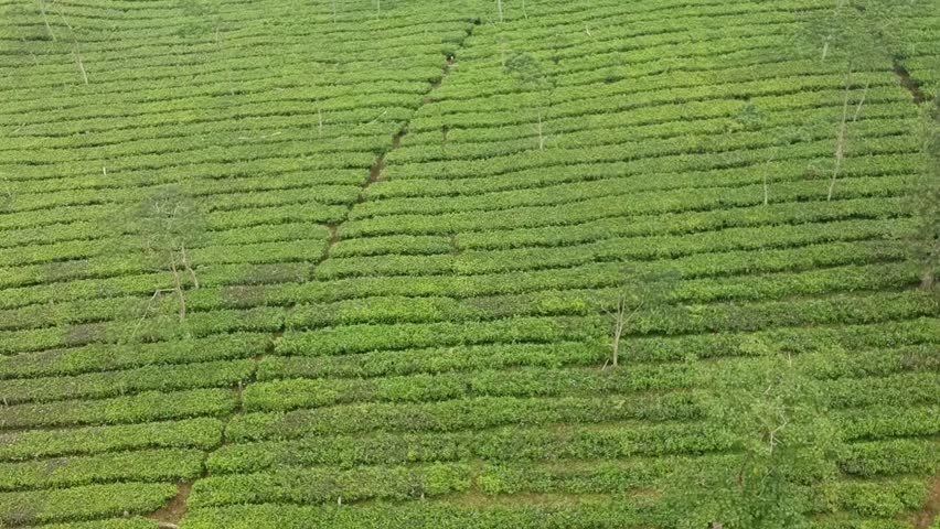 Cinematic tea plantation long view abstract pattern drone