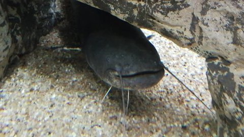 Catfish in a river fish aquarium