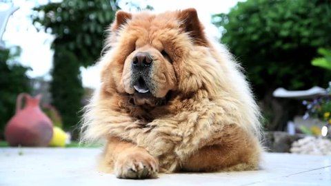 Lovely cute and concentrated Chow Chow dog relaxing on the grass of a garden in daylight Front Close Up.
