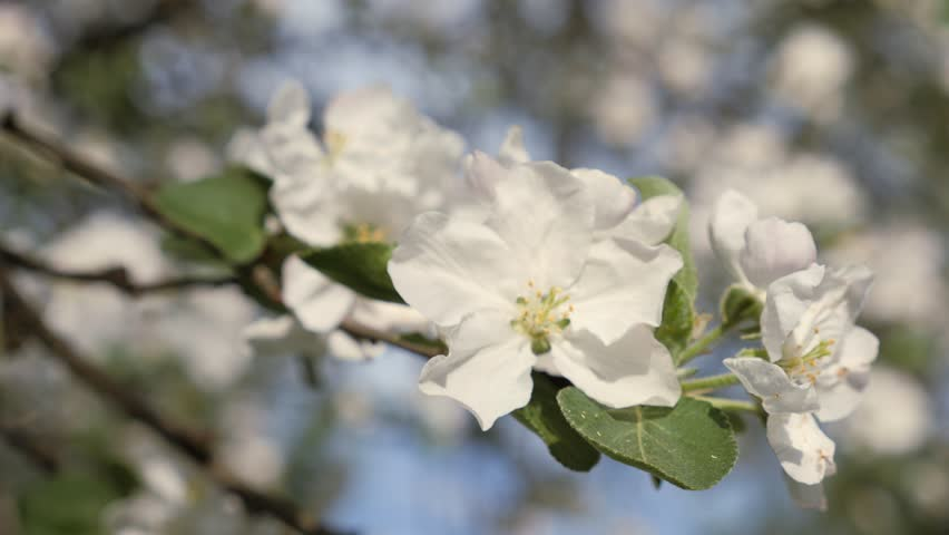 Flowering Crabapple Branches Of Fruit Stock Footage Video 100