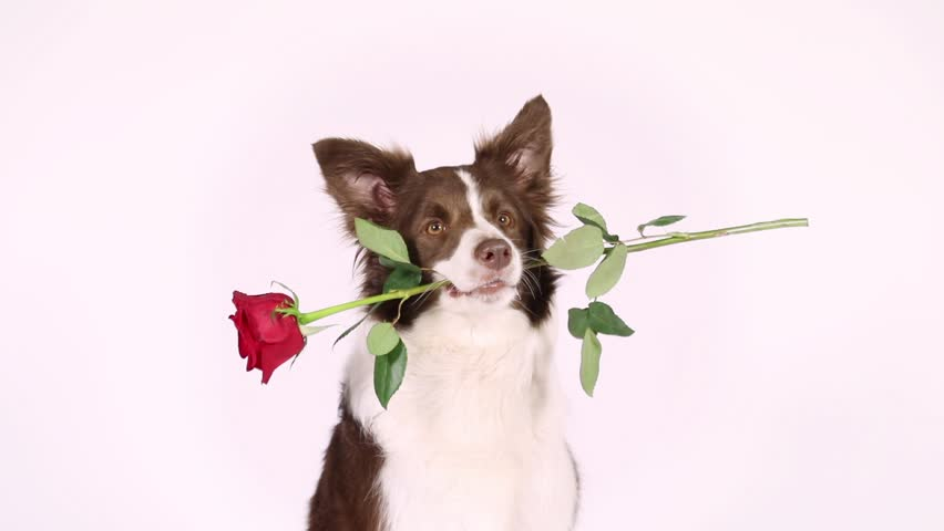 Portrait of Border Collie dog on a white background, she has a red rose in her mouth  | Shutterstock HD Video #1011064205