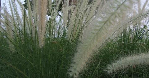 Pampas grass Silver feather grass swaying in wind at sunset plants slow moving on the wind Pampas grass in the winter