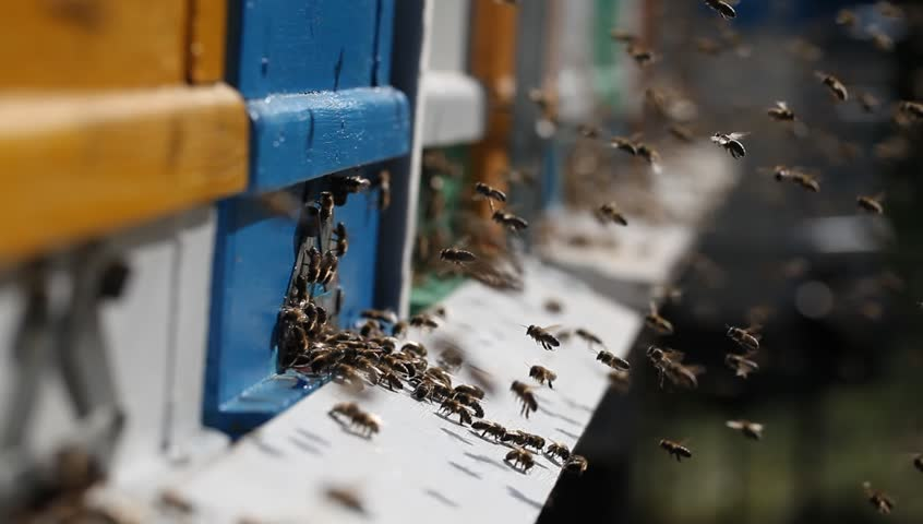 Hives in an apiary with many bees flying to the landing boards in best time to take honey. #1011110855