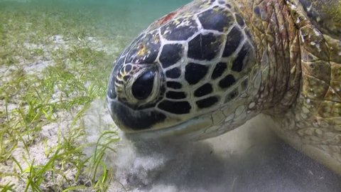 Green Turtle (Chelonia mydas) Feeding on Seagrass - Close Up - Philippines