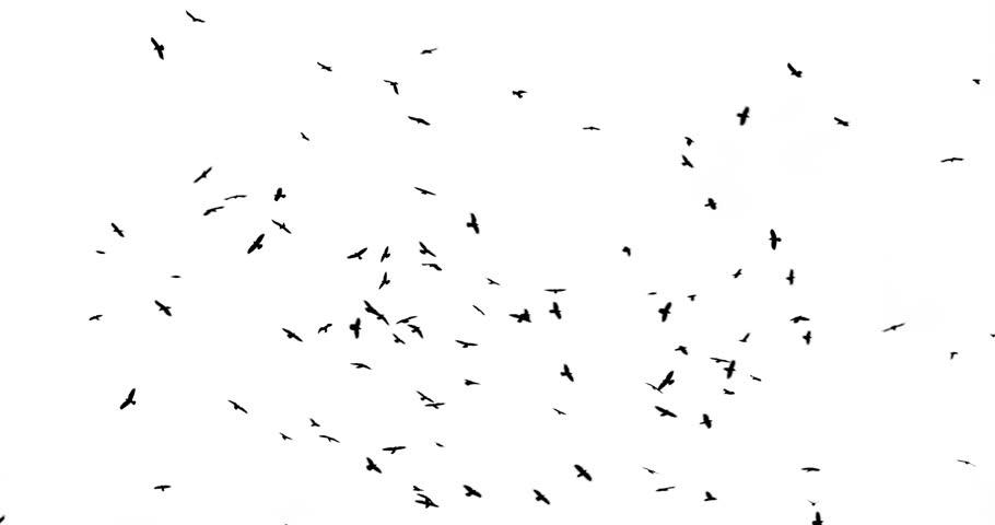 Flock of Birds on white background #1011116375
