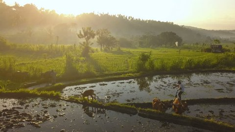 Aerial drone atmospheric shot of a rice farmer washing his cows in a stream while a dog and calf watch from the rice terrace with morning sun rays bursting through haze in the background.