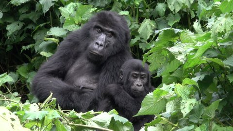 cute young Mountain Gorilla with parents, Uganda, Bwindi National Park, Uganda