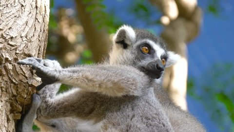 Lemur sits on a branch and looks around. Close up of a ring-tailed lemur. Ring-tailed lemur catta.