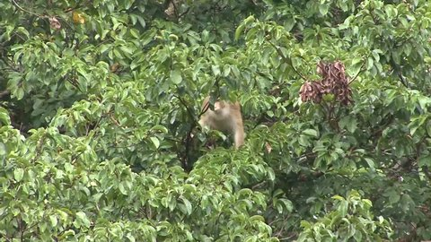Pig-tailed Macaque feed on fruit and move in lowland rainforest tree