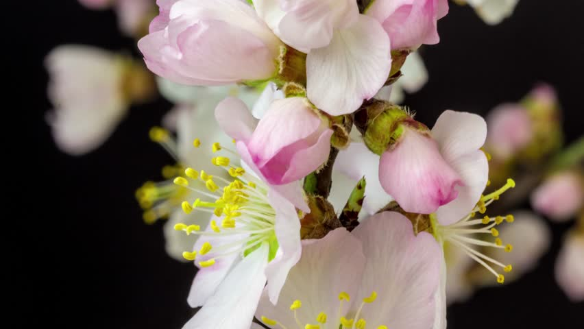 4k moving and rotating time lapse video of an almond flower growing, blooming and blossoming on a dark background/Almond flower blossom time lapse