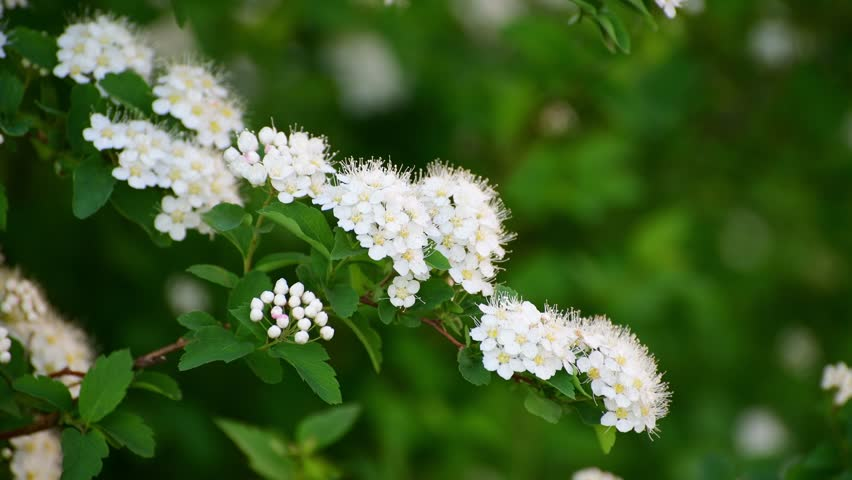 Sprig Bush With White Flowers In Spring