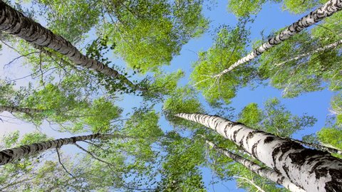 Birch trees bending under the heavy wind. Green tops on a blue sky.