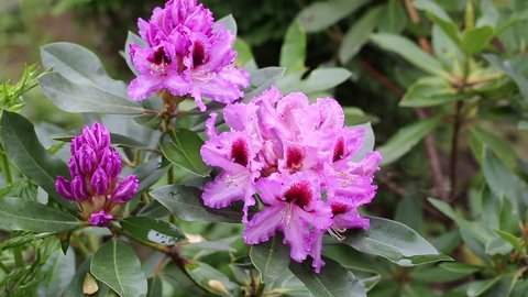 Close-up of pink rhododendron blossoms in the garden in spring. Catawba Rhododendron Cultivar (Rhododendron catawbiense)