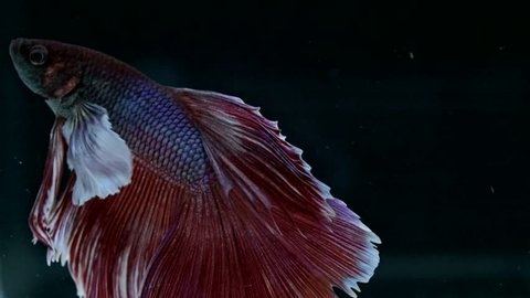 Red BigEar Betta fish ( Siamese fighting fish ) movement in slow motion black background
