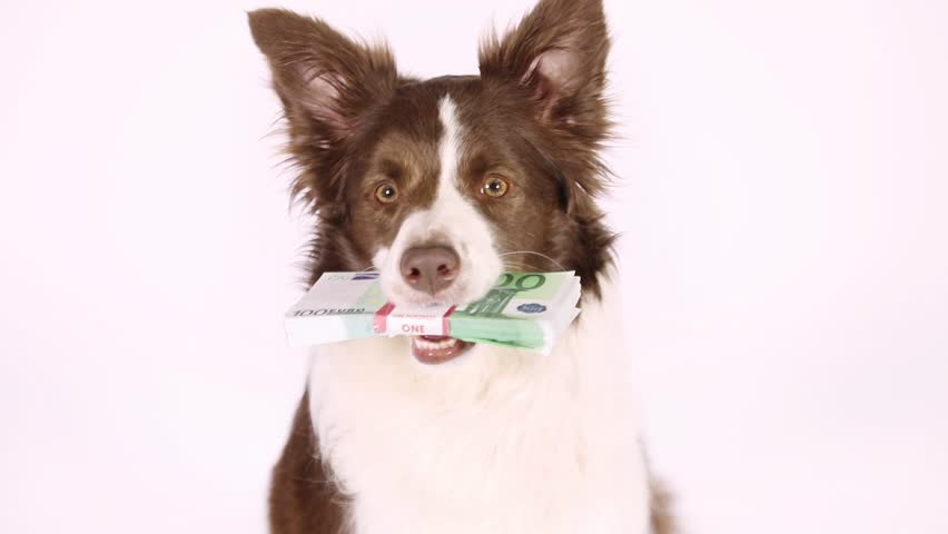 Collie border dog faithfully looks into the camera in her teeth the stack of bills one hundred Euro on a white background  | Shutterstock HD Video #1011335405