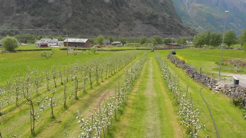 Early spring in Norway at an Apple farm. Apple blossom. 4k taken With a drone