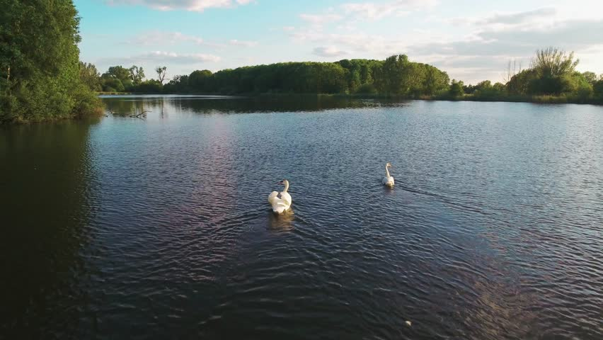 Aerial 4k drone footage of a herd of swans swimming in a lake. Summer evening sunset on the lake, swans are fed by people standing on the shore.