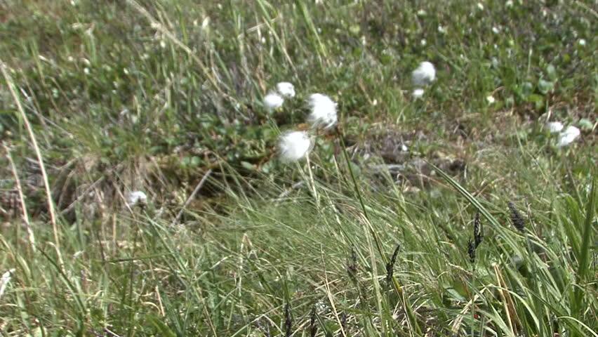 Header of cottongrass