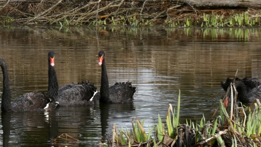 A flock of black swan swims in the summer on the mirror surface of the pond in the park in search of food. Birds in the wild nature. | Shutterstock HD Video #1011392645