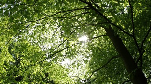 Green leaves of a tree, sunlight flarws