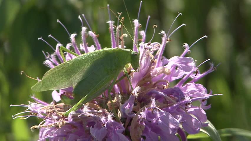 Katydid Adult Lone Grooming Cleaning in Summer in South Dakota