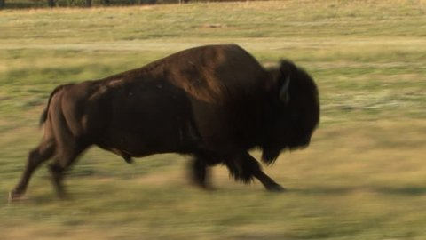 Bison Bull Male Adult Lone Running in Summer in South Dakota