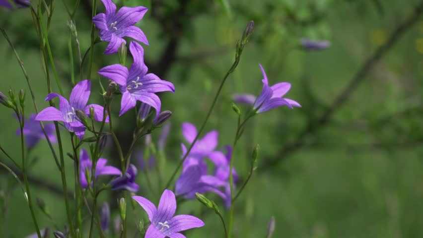 Bluebell (Campanula Sp.) Flowers Swaying In The Wind On A Spring Meadow