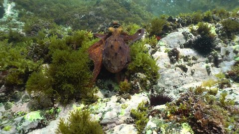 A Common octopus, Octopus vulgaris, underwater moving on rock in the Mediterranean sea, natural light, Cote d'Azur, France