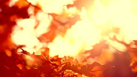 Autumn colorful leaves background. Fall backdrop with swinging bright yellow, red and orange oak tree leaves closeup. Sun flare. Slow motion 4K