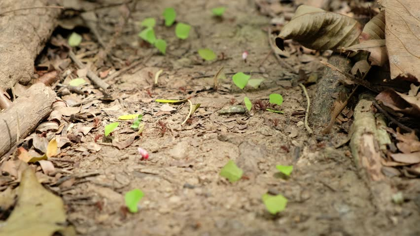 Leaf cutter ants at work - ant road transporting leaves | Shutterstock HD Video #1011465635