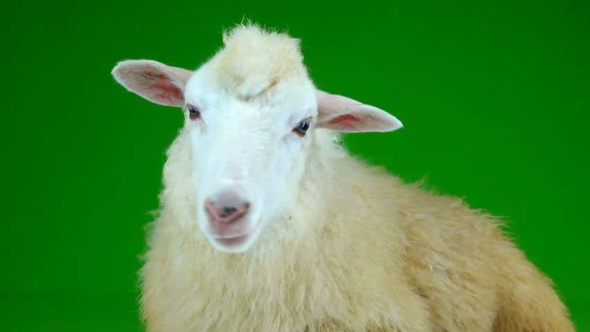 Sheep lies and chews on the green screen   Shutterstock HD Video #1011465665