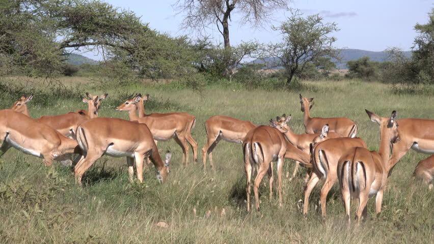 Impala, Herd of Impala, Serengeti, Tanzania, Africa   Shutterstock HD Video #1011469025