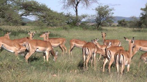 Impala, Herd of Impala, Serengeti, Tanzania, Africa