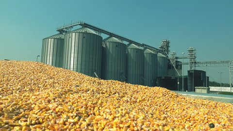 Corn seed in silo,agriculture industry harvest