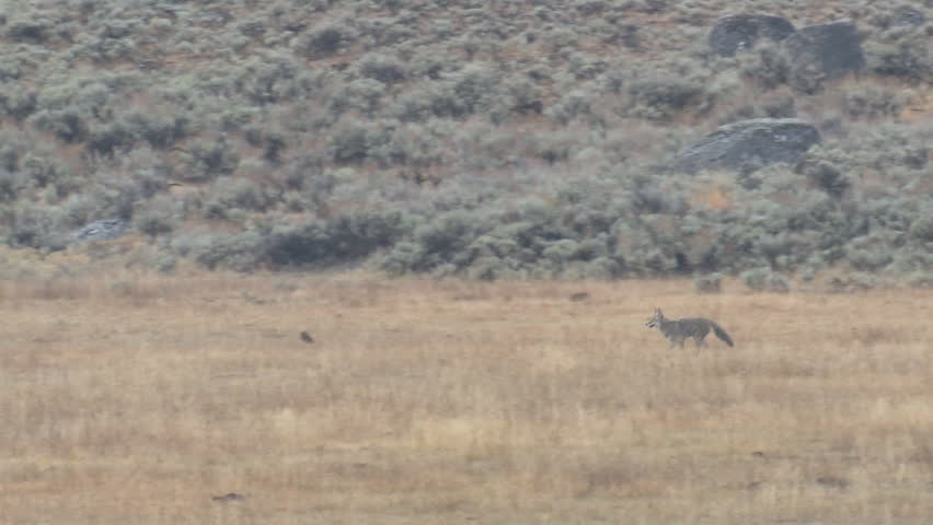 Coyote Lone Running Fleeing in Fall in Wyoming #1011474155