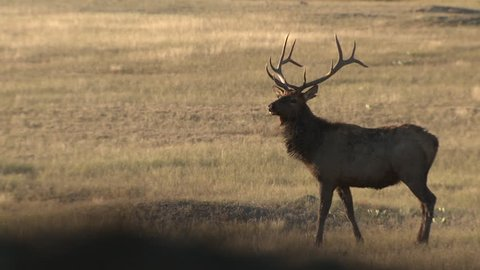 Elk Bull Male Adult Lone Alarmed Frightened Running in Fall Trophy in South Dakota