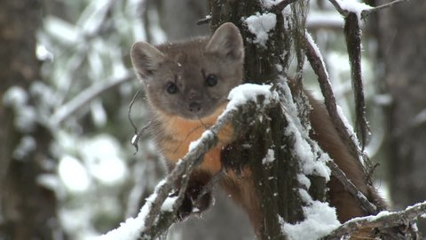 Pine Marten Lone Climbing Jumping Leaping in Winter in Wyoming