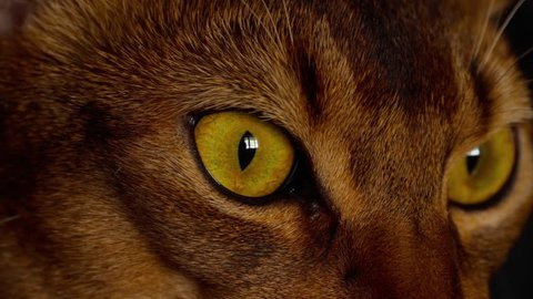 Abyssinian cat eyes close-up