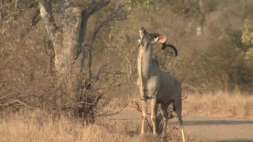 Greater Kudu Buck Male Adult Lone Looking At Camera Dry Season Scent-marking in South Africa