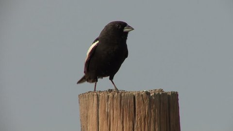 Lark Bunting Male Adult Singing Song in Spring Fence Post in Colorado