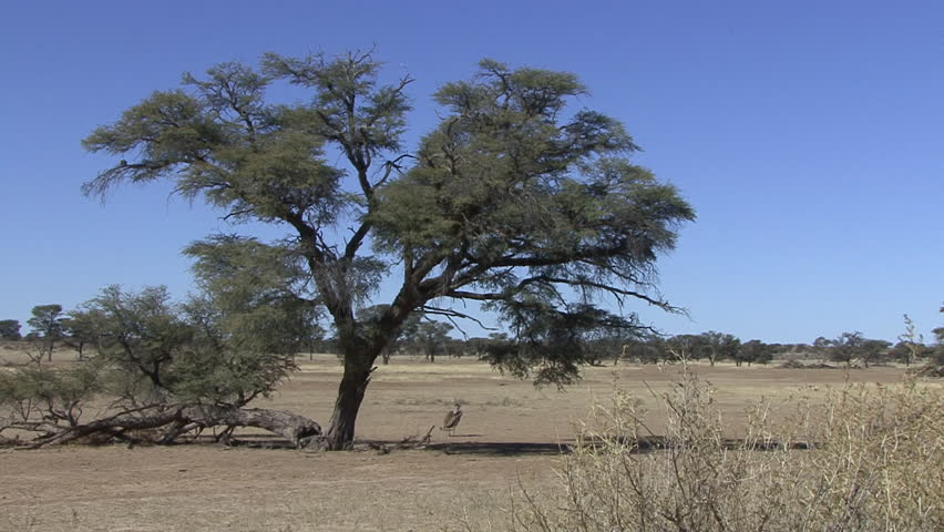 Kori Bustard Adult Lone Standing Dry Season in South Africa