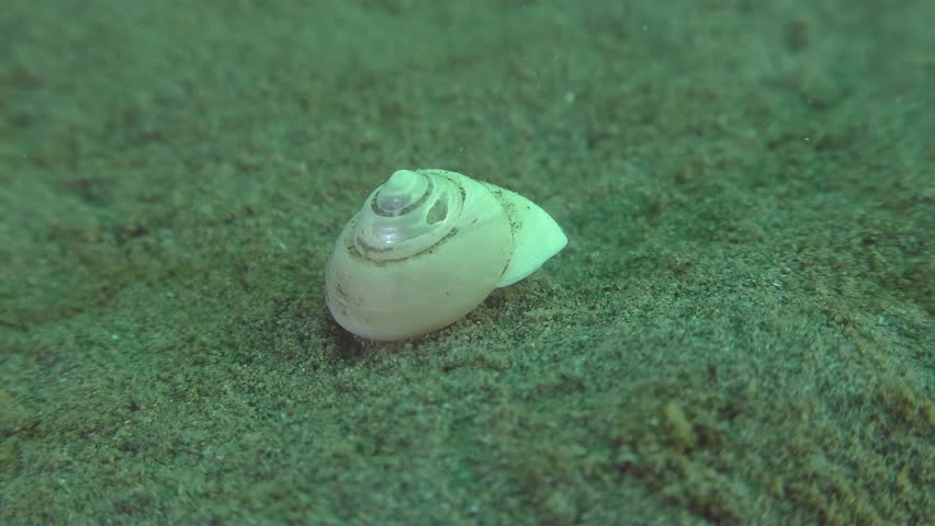 Small hermit crab (Diogenes pugilator) protrudes from the shell and escapes from the frame.