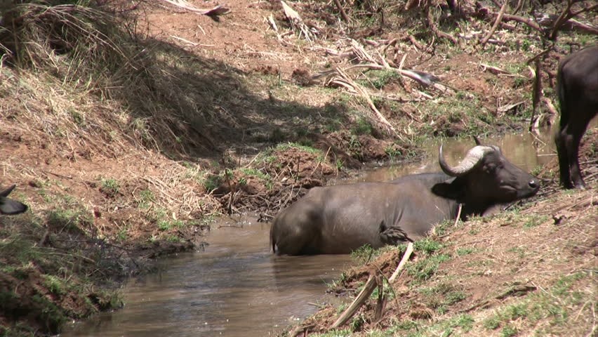 buffalo wakes up after the crocodile has passed.    Shutterstock HD Video #1011578645