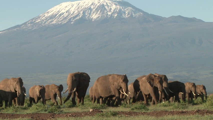 A large herd of elephants coming down from mount kilimanjaro to the swamps of amboseli.