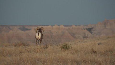 Bighorn Sheep Ram Male Adult Lone Breeding in Fall Erection Masturbation in South Dakota