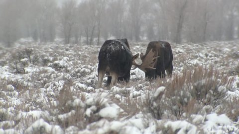 Moose Bull Male Adult Pair Fighting Battle Aggression in Winter Snowing in Wyoming